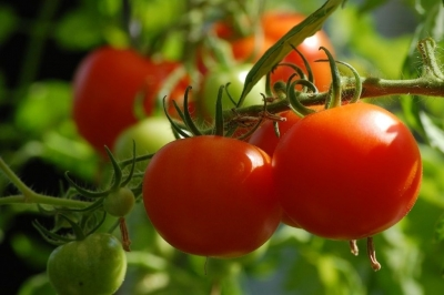 Tips to Naturally Eliminate & Prevent Common Tomato Plant Pests